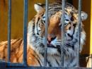 tigr.jpeg